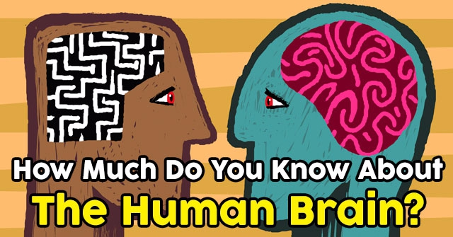 How Much Do You Know About The Human Brain?