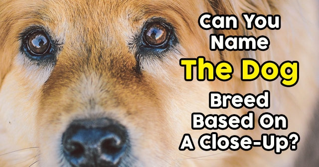 Can You Name The Dog Breed Based On A Close-Up?