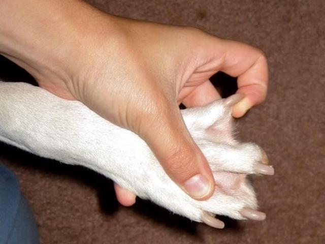When does a basset hound mature
