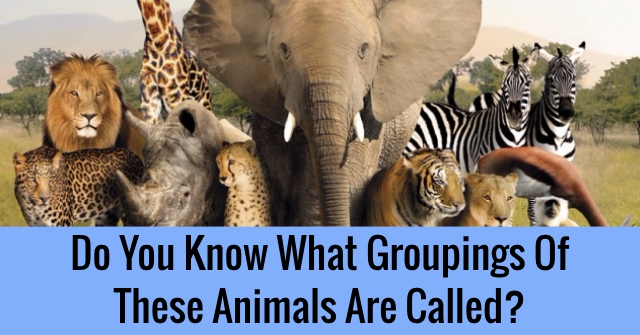 Do You Know What Groupings Of These Animals Are Called?