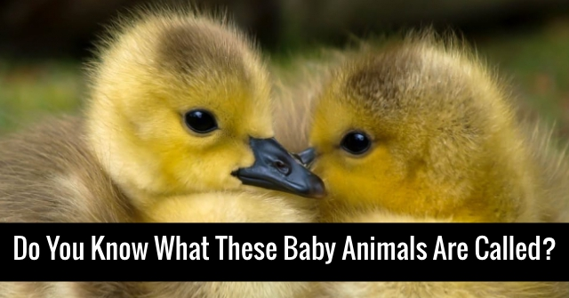 Do You Know What These Baby Animals Are Called?