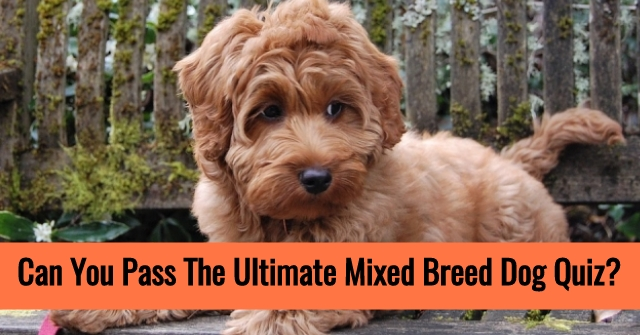 Can You Pass The Ultimate Mixed Breed Dog Quiz?