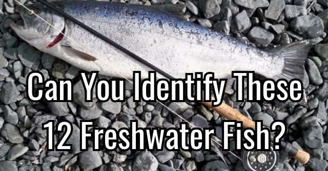 Can You Identify These 12 Freshwater Fish?