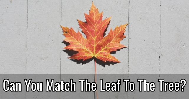 Can You Match The Leaf To The Tree?