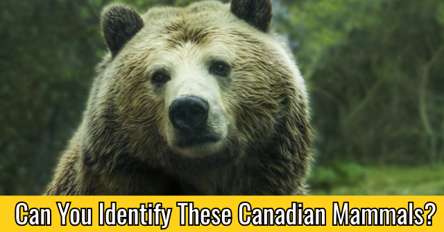 Can You Identify These Canadian Mammals?