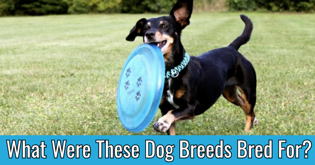 What Were These Dog Breeds Bred For?